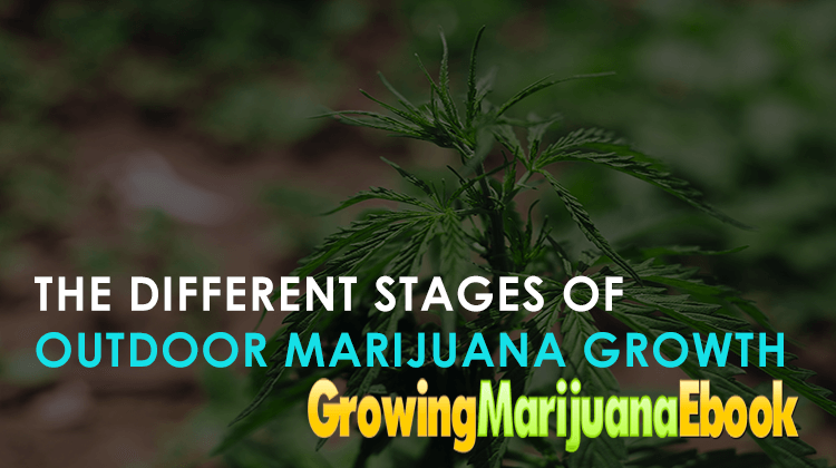The Different Stages Of Outdoor Marijuana Growth