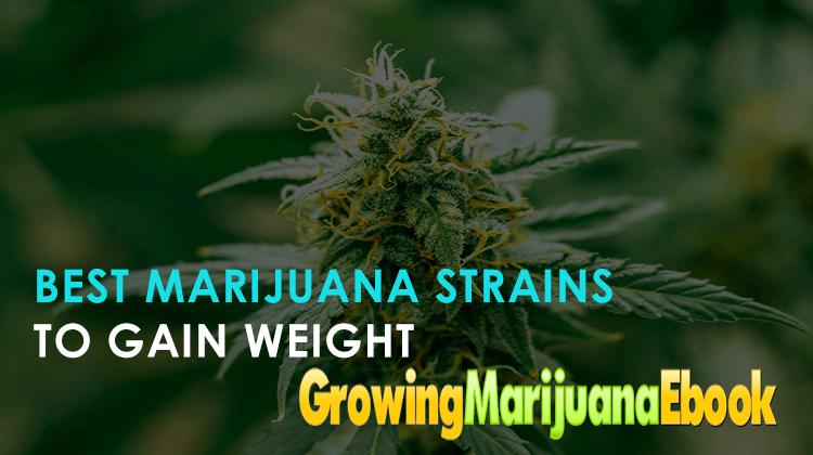 Best Marijuana Strains to Gain Weight