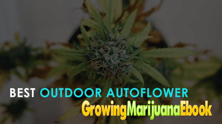 Best Outdoor Autoflower