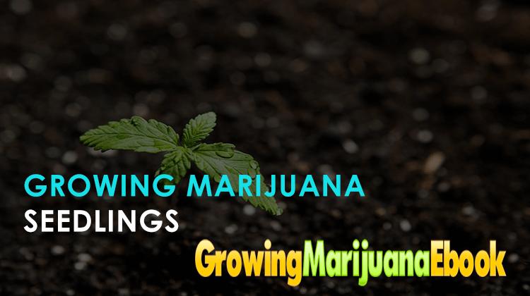 Growing Marijuana Seedlings