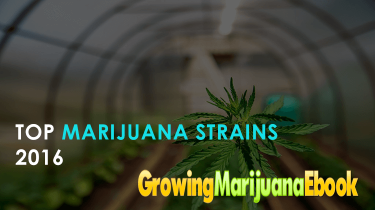 Top Marijuana Strains 2016