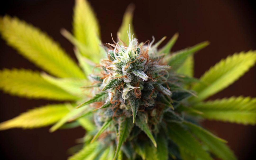 Best Marijuana Strain to help with Schizophrenia