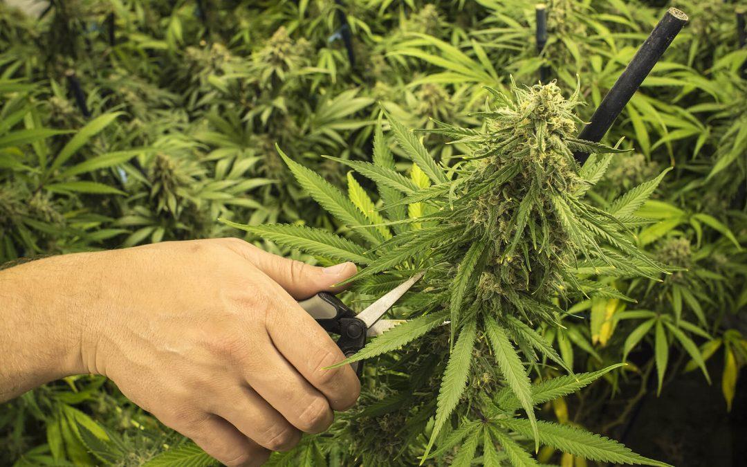 When to Harvest Outdoor Marijuana