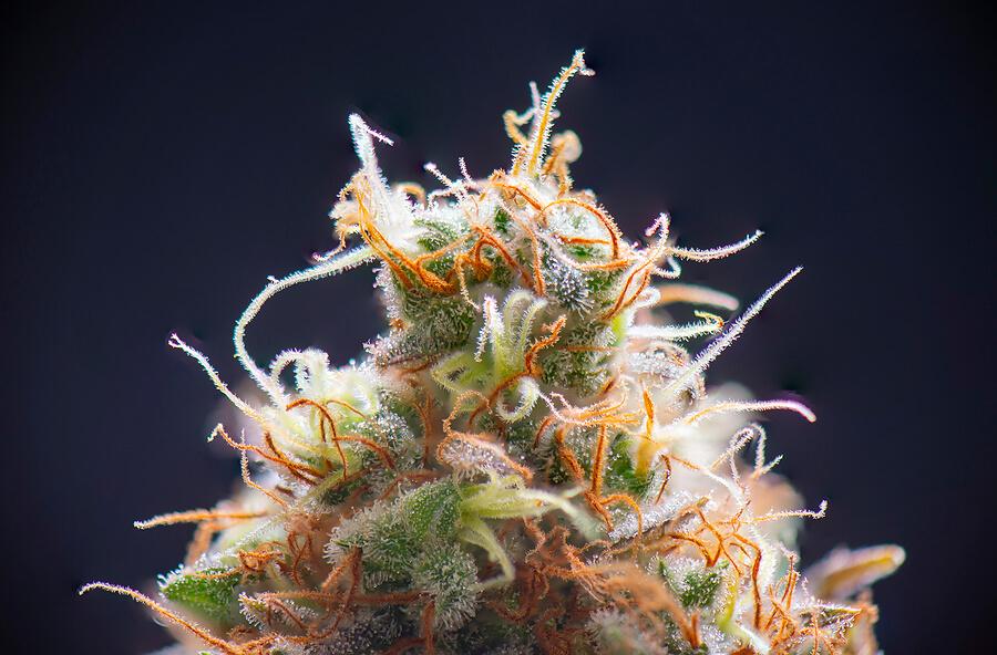Best Marijuana Strain to SCROG