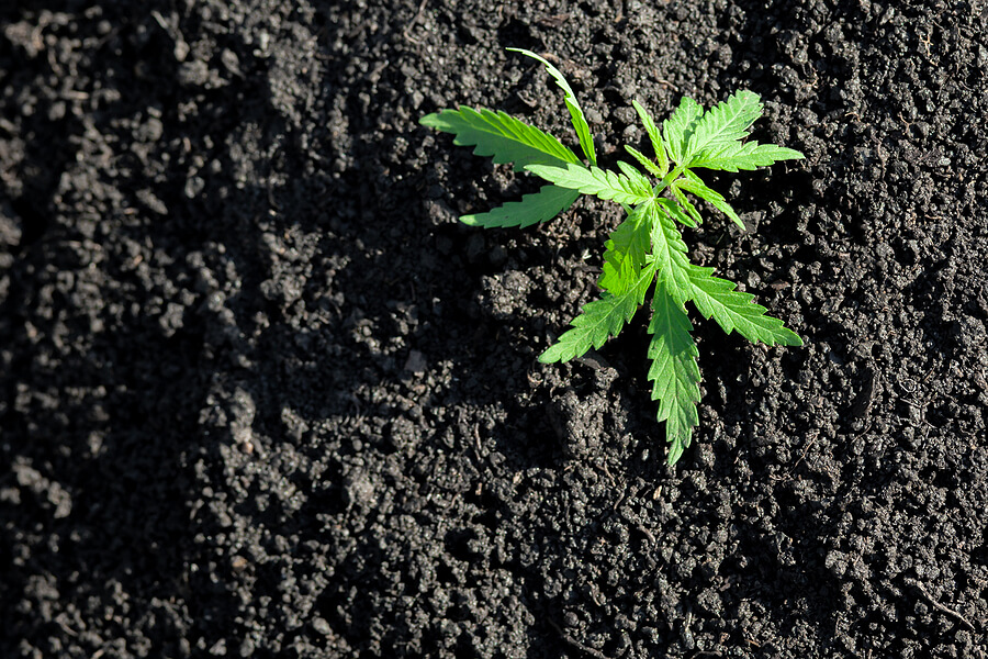 How to Plant Marijuana Seeds
